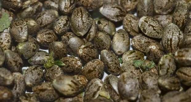 איחסון זרעי קנאביס
