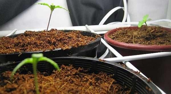 הנבטת זרעי קנאביס
