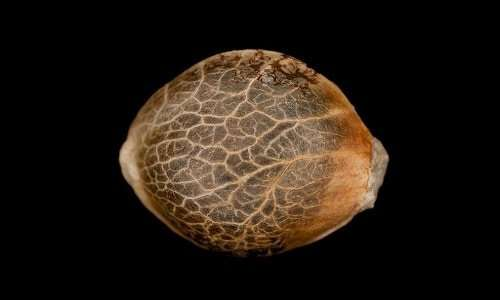 רכישת זרעי קנאביס - דברים שכדאי לדעת