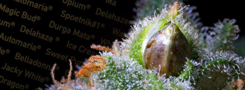 רכישת זרעים ב-Paradise Seeds